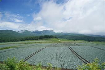 嬬恋高原のキャベツ畑