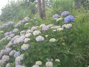 伊豆は紫陽花の名所! 当館の周辺にも多くの種類の紫陽花が咲きます。