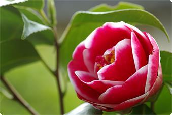 当館で苗から植えた、離れ客室の脇に咲く椿「友の浦」