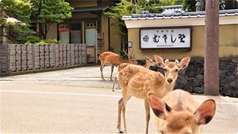 当館の門前には鹿がいっぱいです。時折門の中まで入って参ります。