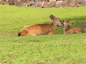 当館門前の若草山山麓で遊ぶ鹿の親子