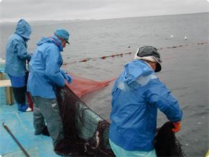 春のヤリイカ定置網漁